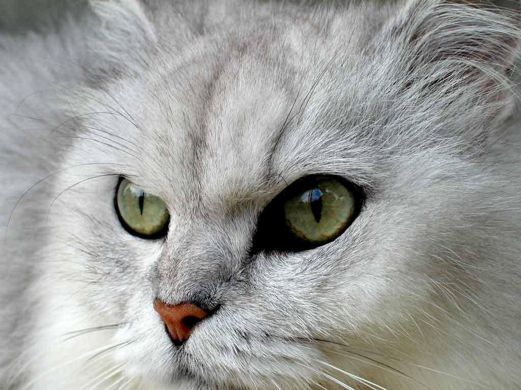 Animais > Gatos > Persa > Gato persa