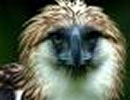 Animais > Aves > �guia-das-Filipinas > �guia-das-filipinas