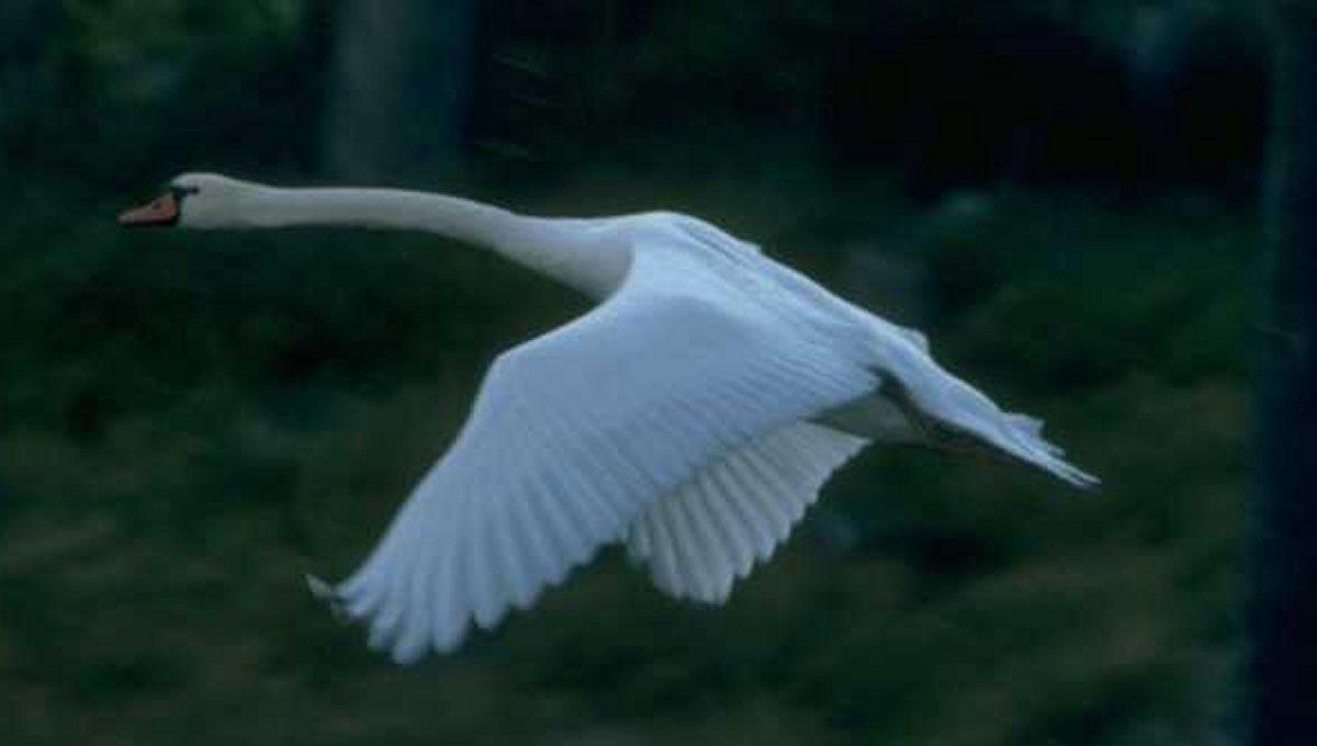 Animais > Aves > Cisne-branco > Cisne