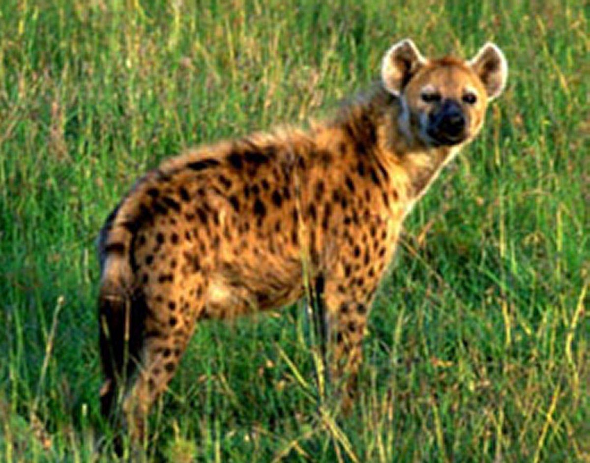 Animais > Animais selvagens > Hiena-malhada > Hiena