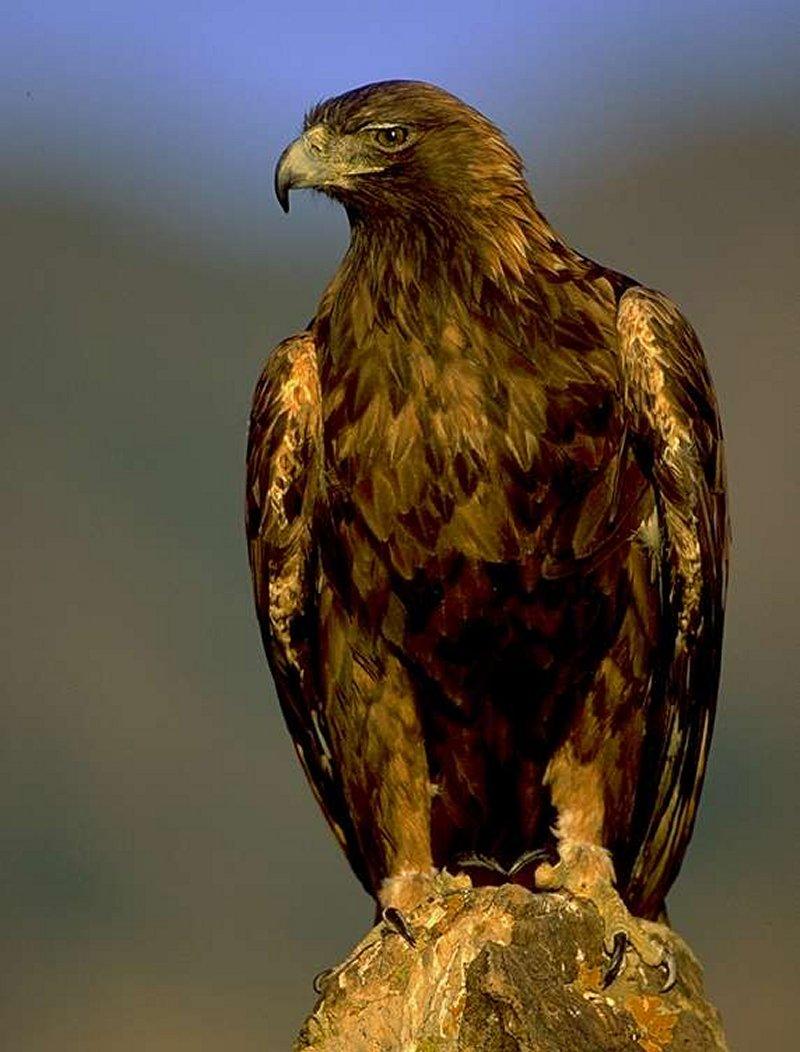 Animais > Aves > �guia-real > Aguia real