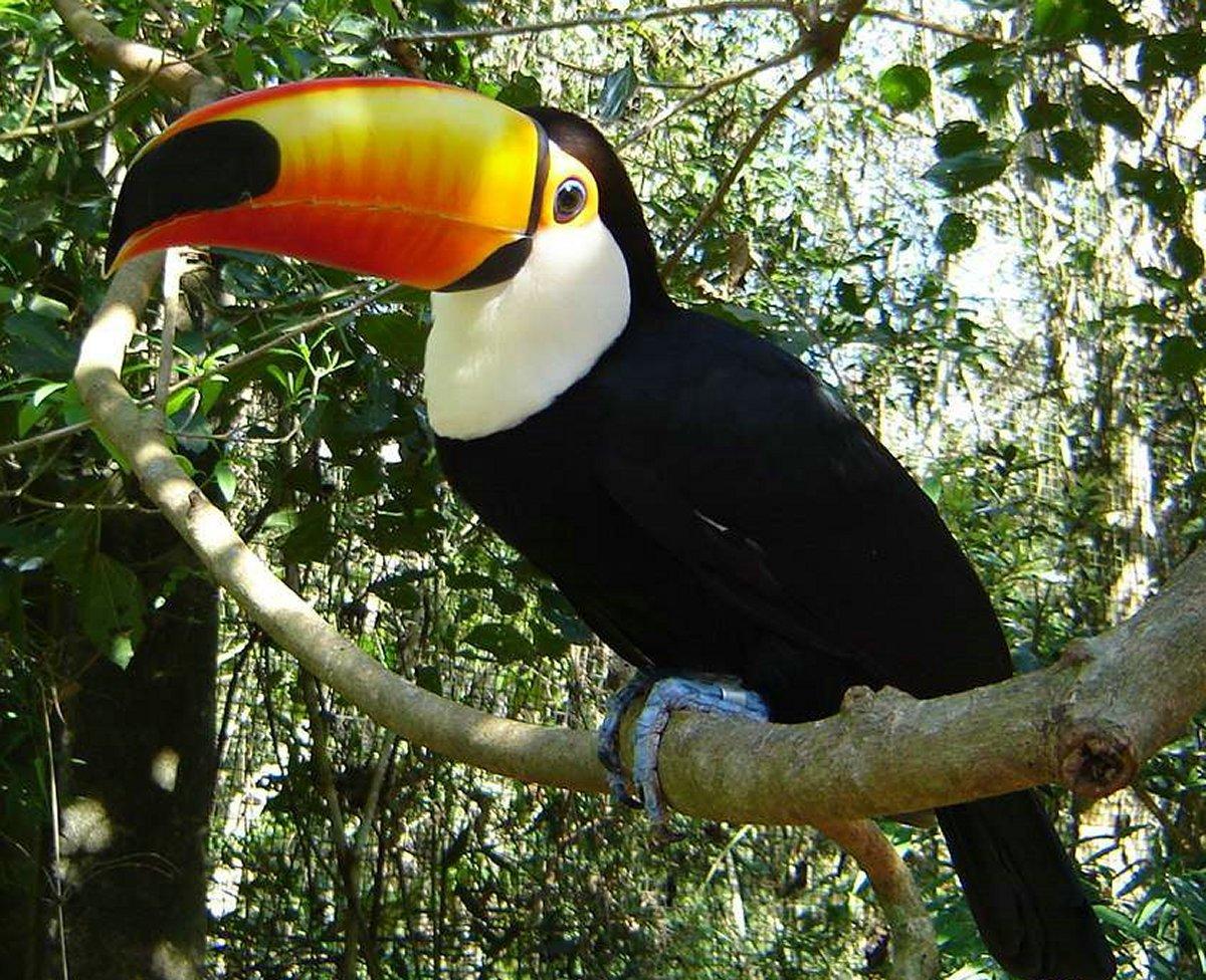 Animais > Aves > Tucano > Tucano