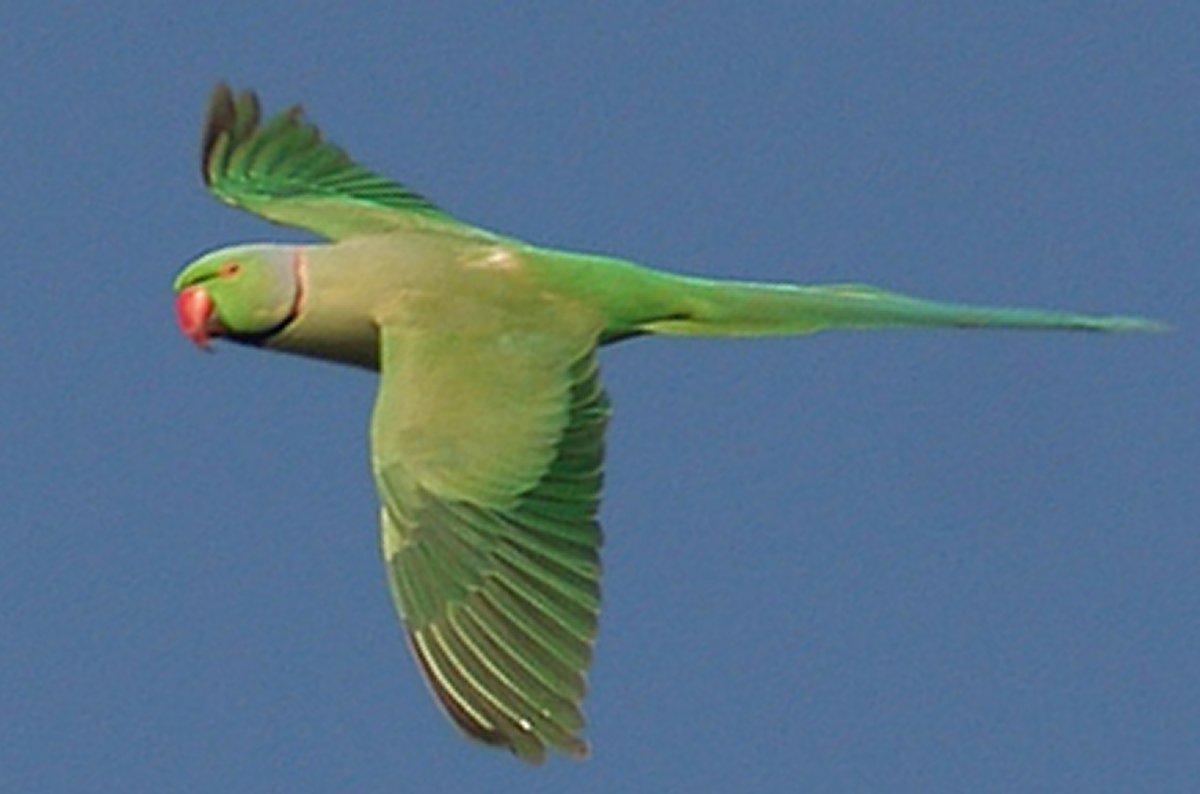 Animais > Aves > Periquito-de-colar > Periquito de colar