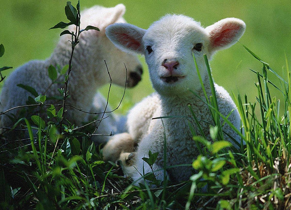 Resultado de imagem para linda ovelha
