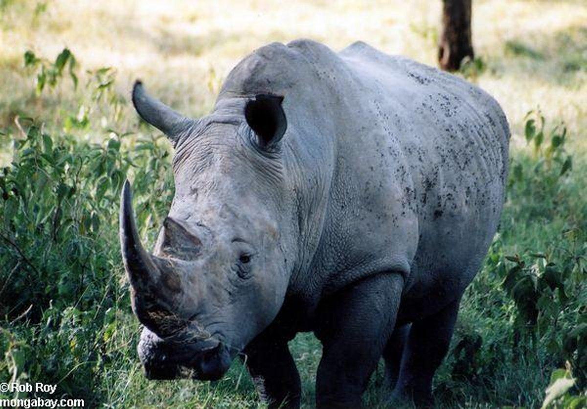 Animais > Animais selvagens > Rinoceronte-negro > Rinoceronte negro