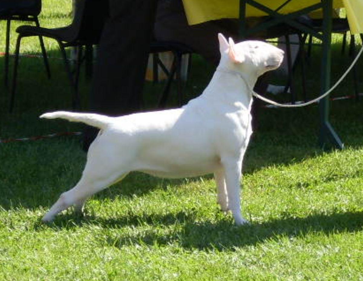 Related Pictures dogo argentino vs presa canario dog fight