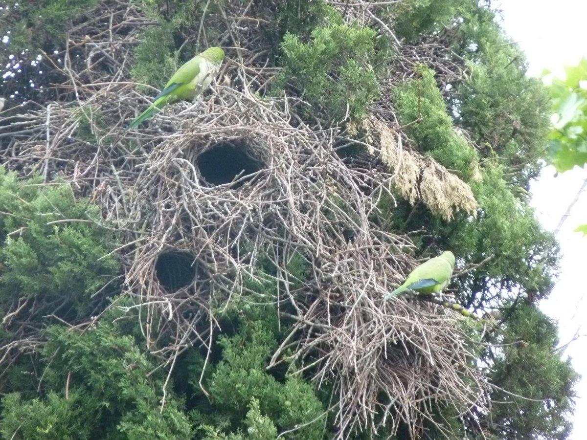 Animais > Aves > Periquito-quaker > Periquitos-quaker e ninhos