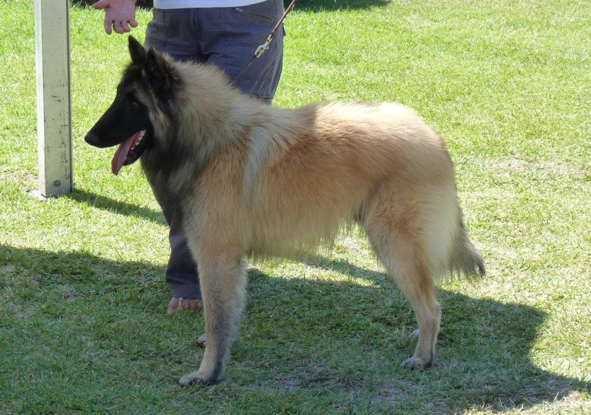 Belgian Malinois Long Hair