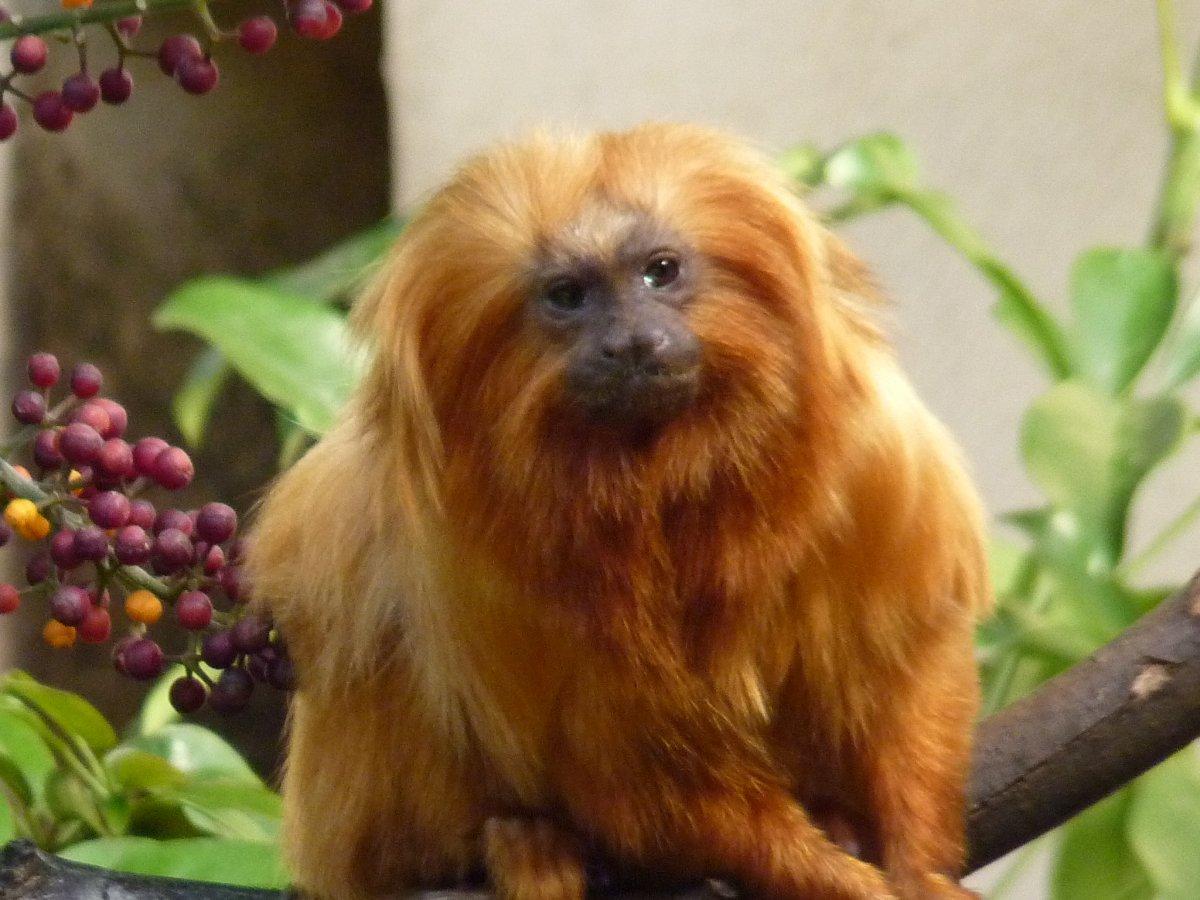 Animais > Primatas > Mico-leão-dourado > Mico-leão-dourado