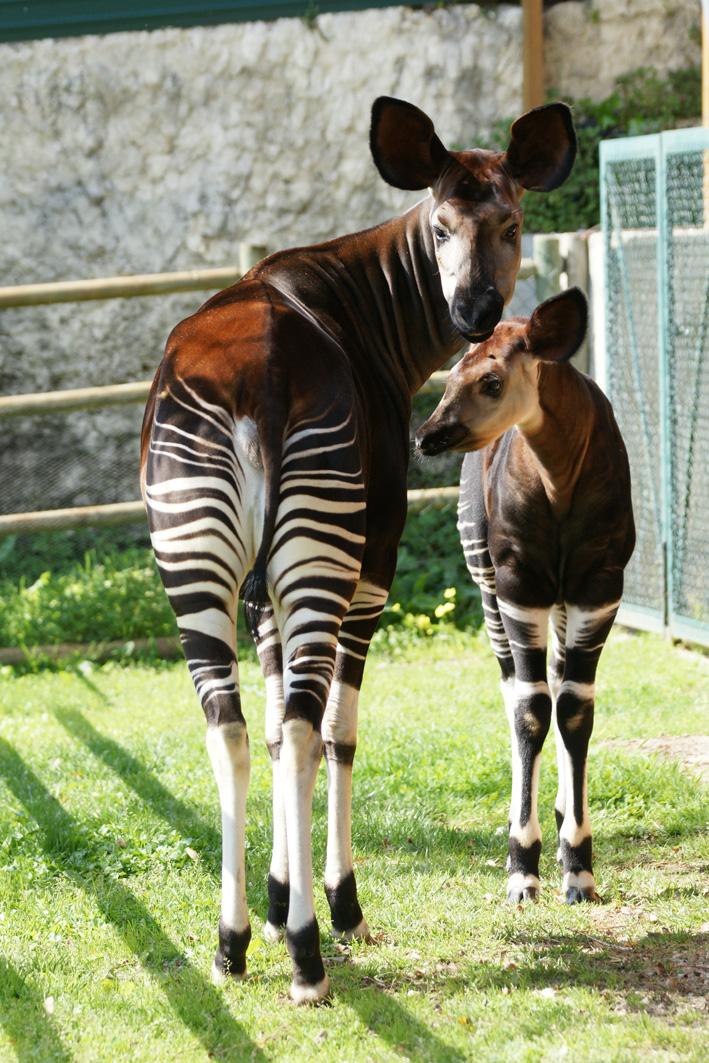 Animais > Animais selvagens > Okapi <i>(Okapia johnstoni) </i> > Okapis