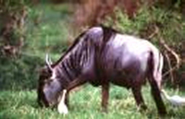Animais > Animais selvagens > Gnu <i>(Connochaetes taurinus)</i> > Gnu